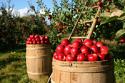 Компания Български Производител на ябълки – градина 350 декара /10 годишна история/  в България търси партньорство или Инвеститор (ROI= 40,8%)